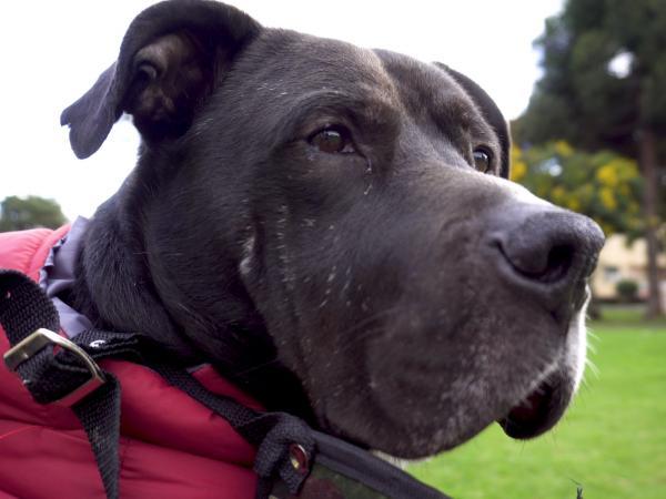 Rufo, perro adoptado mediante Distrito Appnimal