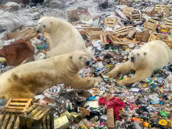Osos polares que comen basura 2