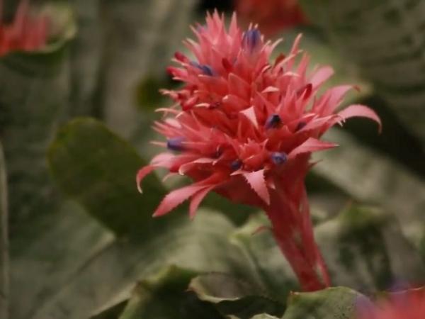 Plantas Calyx