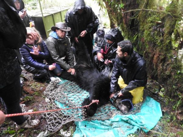Marcaje del oso andino
