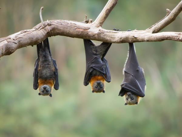 Animales señalados de trasmitir virus mortales a lo largo de la historia