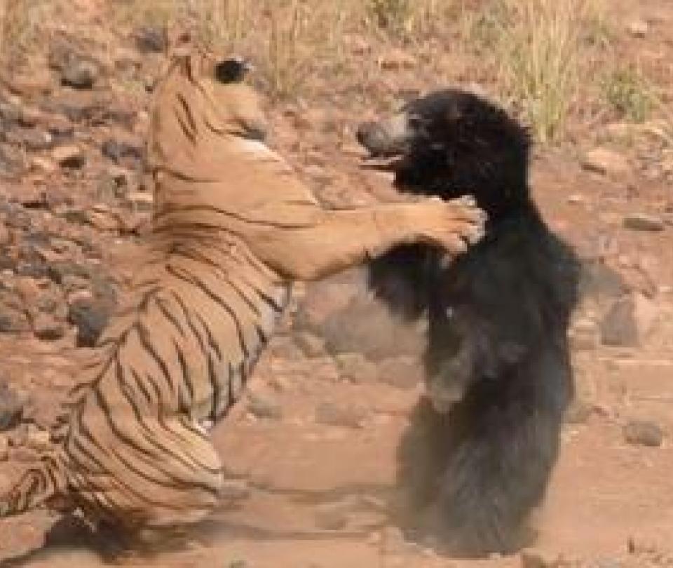 La salvaje pelea entre un tigre y una osa en la India