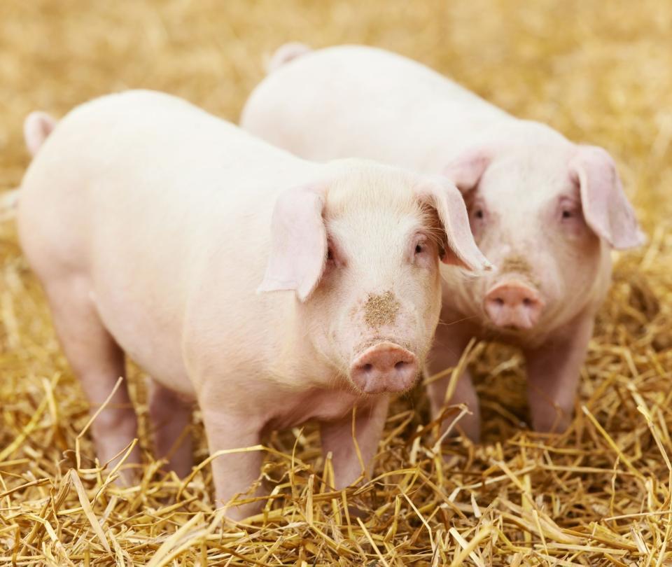 Reactivan funciones de células cerebrales de cerdos muertos