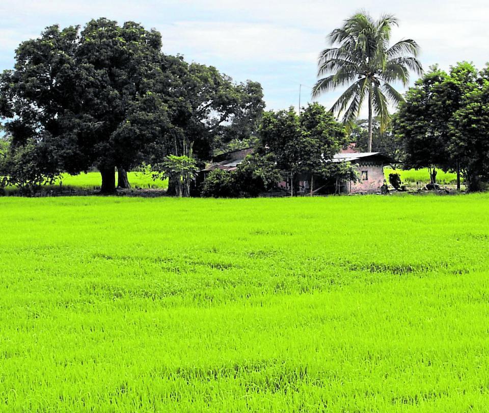 El Llano, líder en la producción de arroz