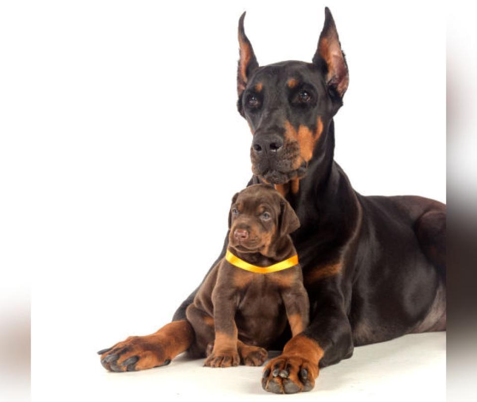 Cortarles las orejas y la cola a los perros es cruel y muy doloroso