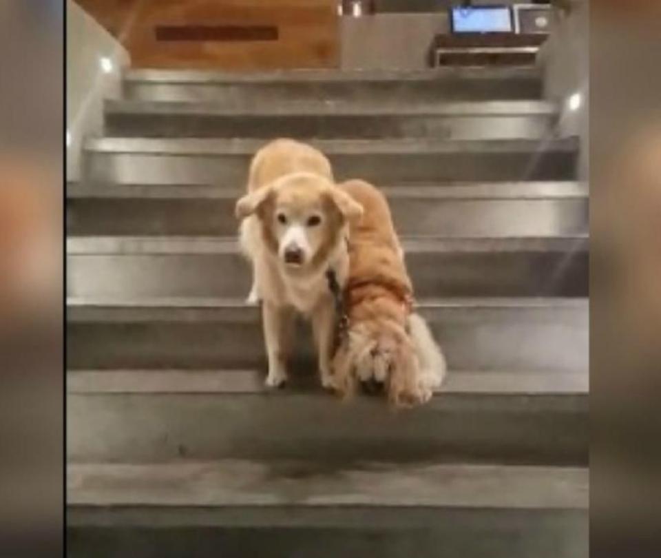 Perro ciego y su perro guía enternecen las redes con emotiva escena