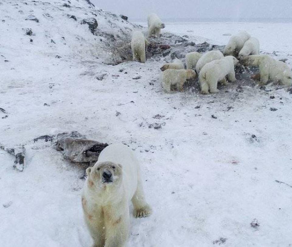 Manada osos polares flacos y hambrientos puso en alerta a una aldea