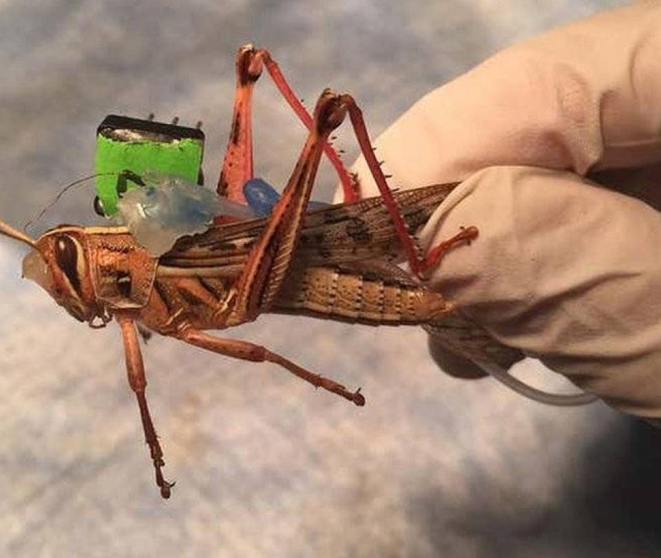 El insecto que puede sustituir los perros en el rastreo de explosivos