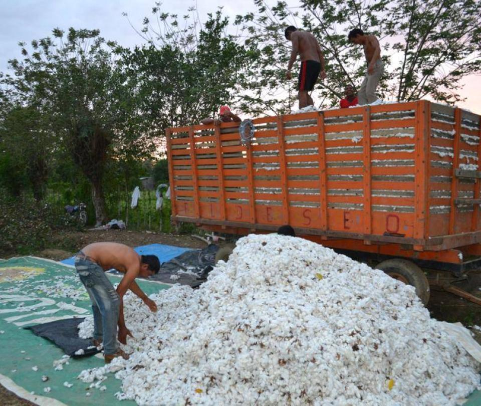 Algodoneros de Córdoba reciben incentivos en plena crisis