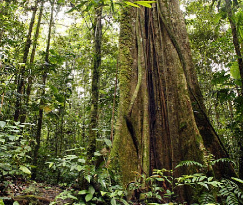 Descubren que té amazónico fomenta la formación de nuevas neuronas