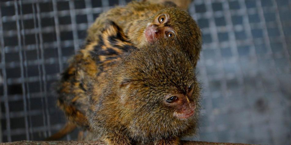 Recuperada familia de titíes hurtada de un zoológico en Medellín