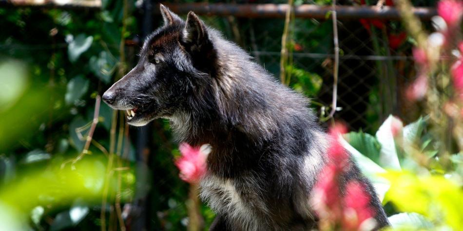 Lobo rescatado de tráfico ilegal en Antioquia llegó a su nuevo hogar