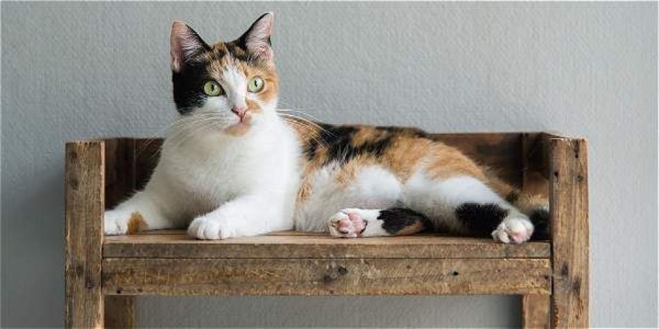 Resultado de imagen para Gatos calico