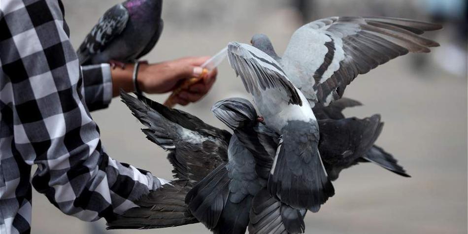 Falsa alarma: no sacrificarán a 'paloma de carreras' en Australia