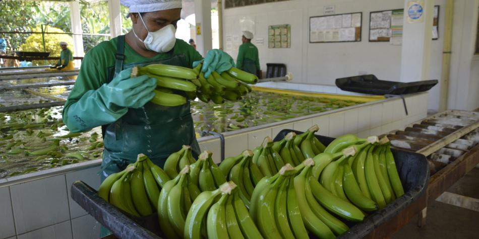 Plan de contingencia en el Magdalena y La Guajira por plaga en bananos