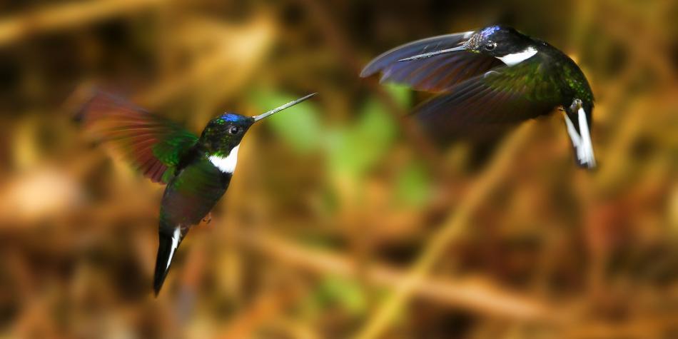 Algunas de las aves más hermosas de Antioquia