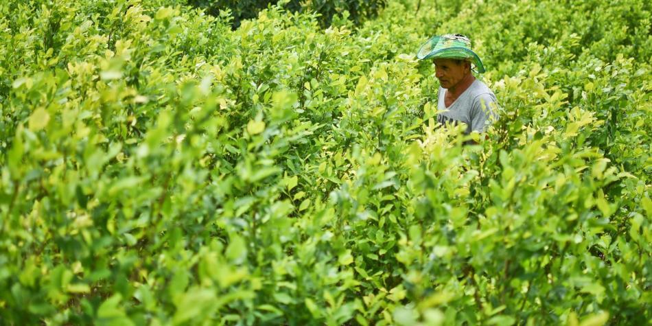 En tierra de Farc, Santos inició sustitución de coca