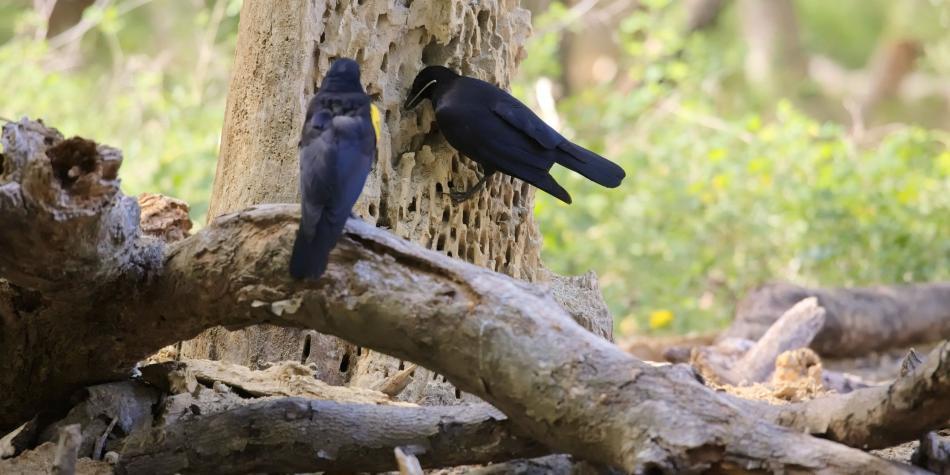 Los cuervos son muy previsores