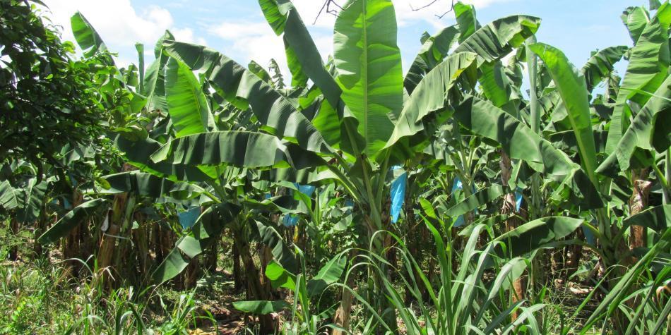 ICA atiende sospecha de marchitez en cultivos de banano en La Guajira
