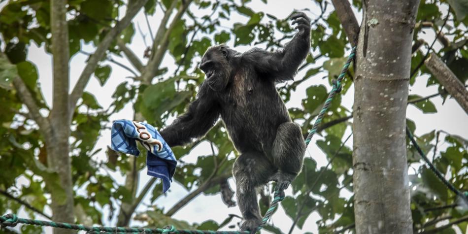 Chimpancé bioparque Ukumarí de Pereira