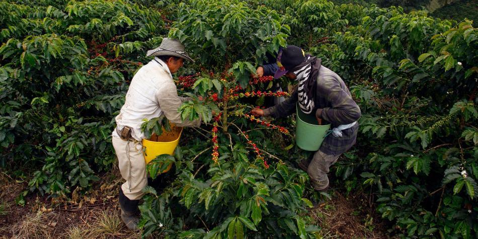 Crisis de precios del café se ha llevado 27.000 hectáreas cultivadas