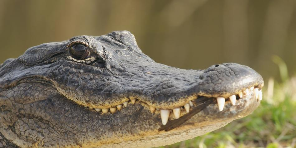 La historia del cocodrilo que recuperó su cola con una prótesis en ...