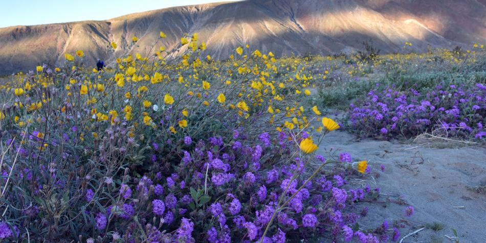 El jardín durmiente y colorido que florece en un desierto de EE.UU.
