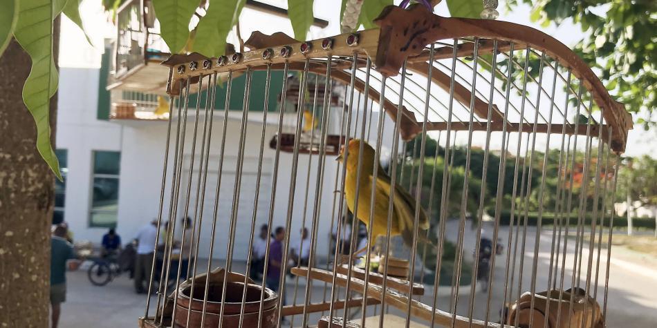 Buscan prohibir que canarios y loros se puedan tener como mascotas