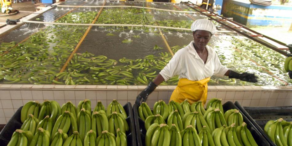 Confirman mal de banano, y erradicación va en la mitad