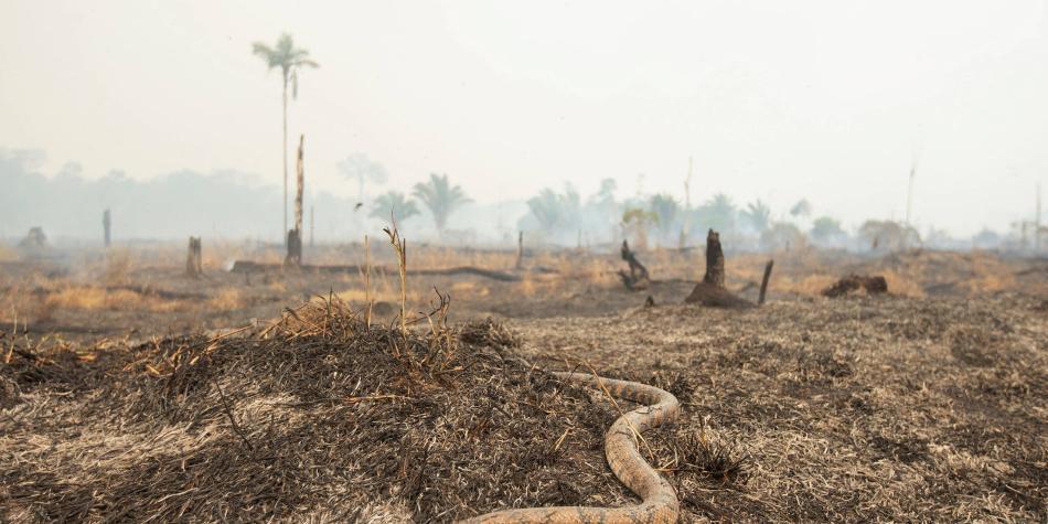 Animales intentan huir de las llamas que avanzan en la Amazonia