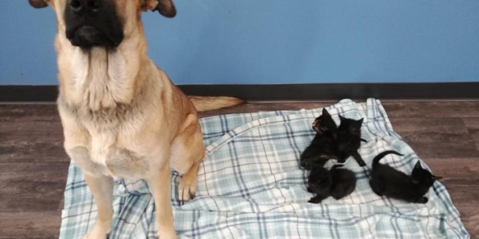 Perro callejero fue encontrado cuidando de cinco gatitos bebé
