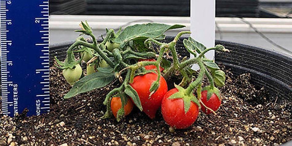 Científica colombiana crea los tomates más pequeños del mundo