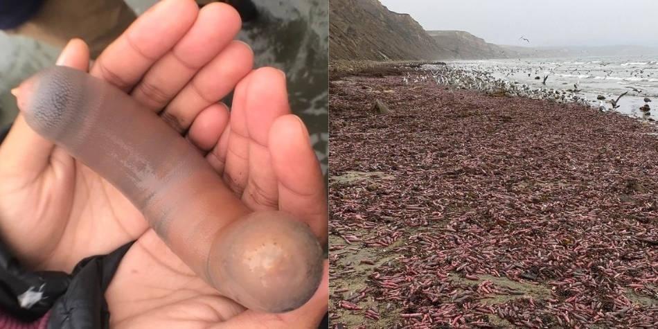 Miles de 'peces pene' aparecen en una playa al norte de California