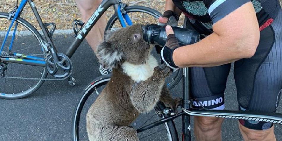 Ciclista se detuvo para dar agua a un koala que moría de sed