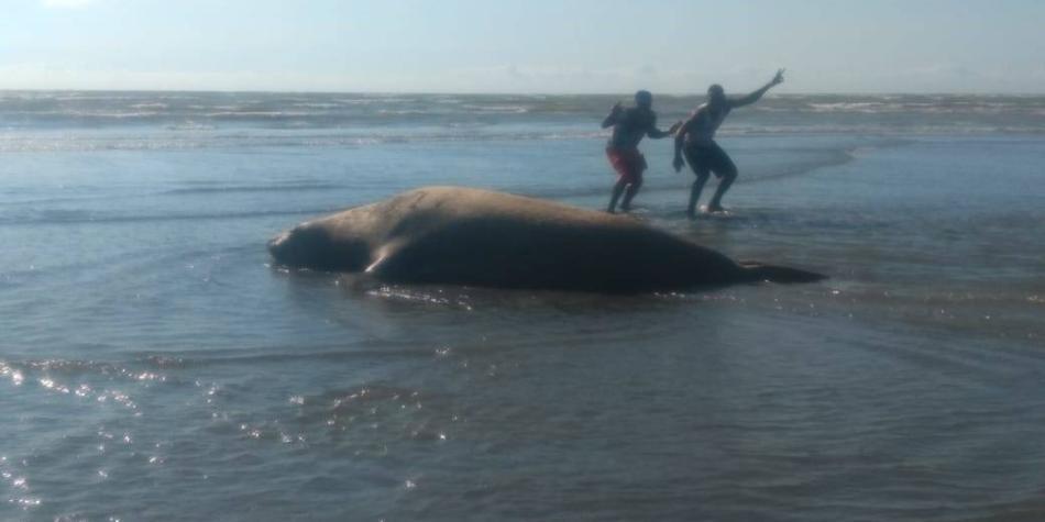 Hallan por primera vez en Buenaventura a cuatro elefantes marinos