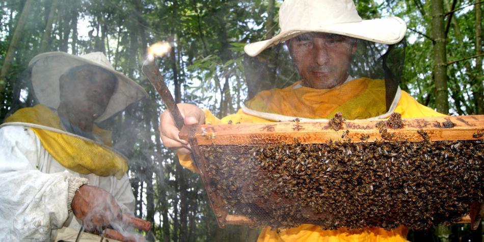 Un pesticida prohibido en Europa aniquila a las abejas en Colombia