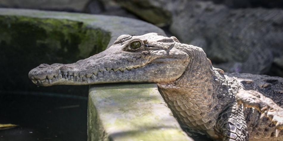 Pese a autorización, en Cispatá no se caza ni comercia el caimán aguja