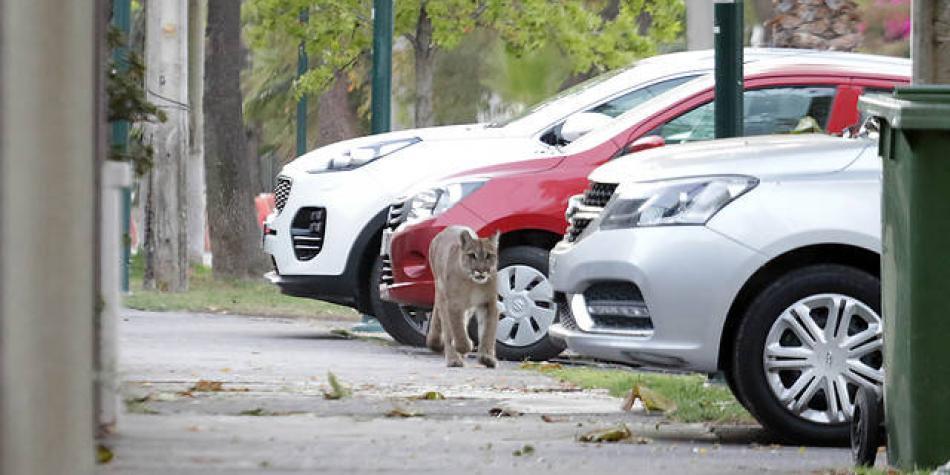Un puma deambula por Santiago de Chile durante la cuarentena
