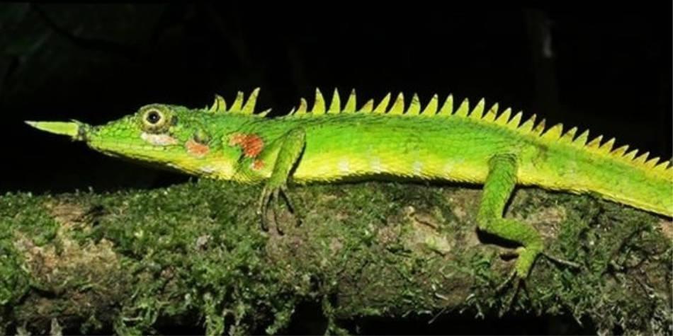 Hallan sorprendente 'lagartija unicornio' por primera vez en 130 años