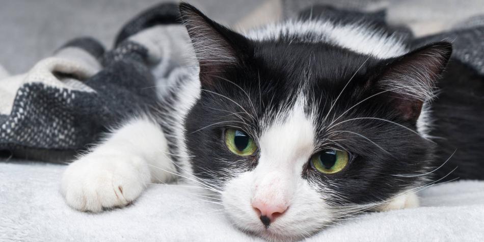 Crean app que ayudaría a entender lo que los gatos dicen con maullidos