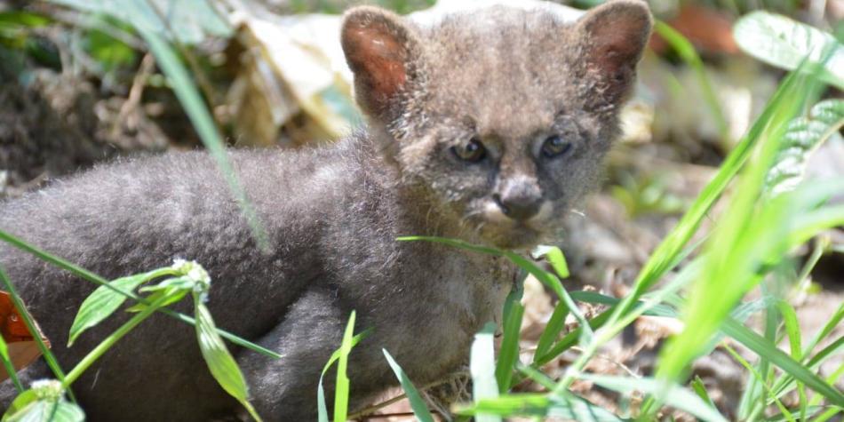 Campesino alimentó en su casa a un puma creyendo que era un gato