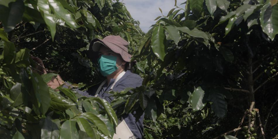 Cafeteros se alistan para la cosecha más grande del año