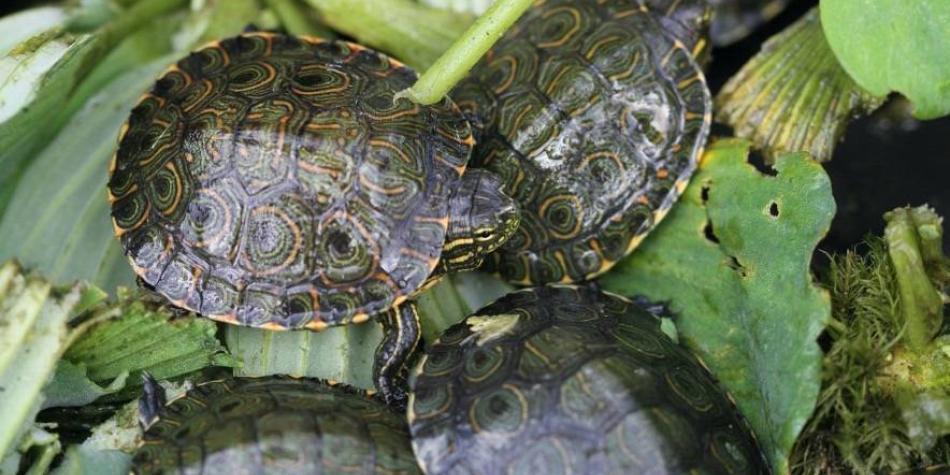 Liberadas 600 tortugas que nacieron en incubación en mina de Cerrejón
