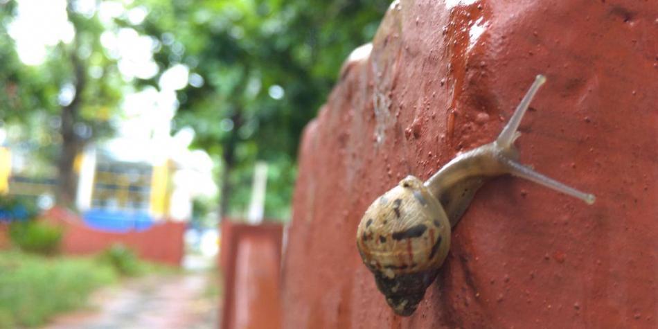 Ojo con los caracoles africanos en Barranquilla