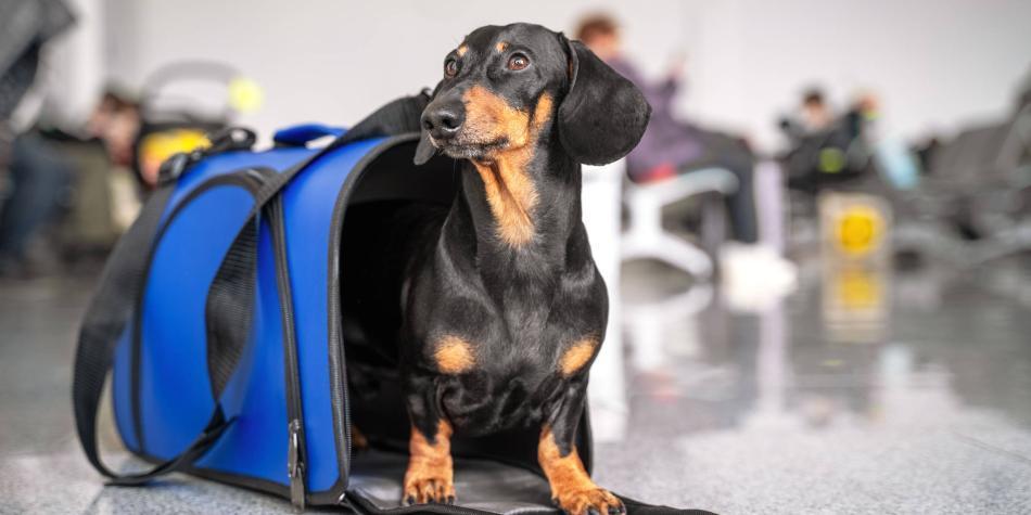¿En qué casos un perro viaja en cabina o en bodega?