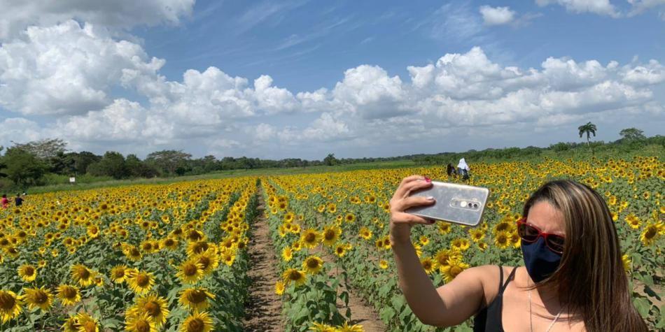El campo de girasoles que se convirtió en atractivo de Montería