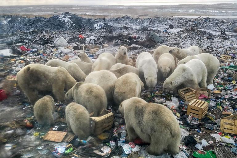 Las tristes fotos de osos polares comiendo basura en Rusia