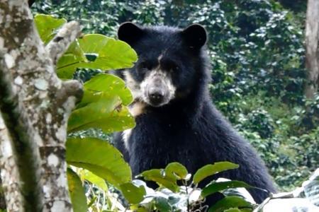 Unidos por el oso de anteojos en el Huila