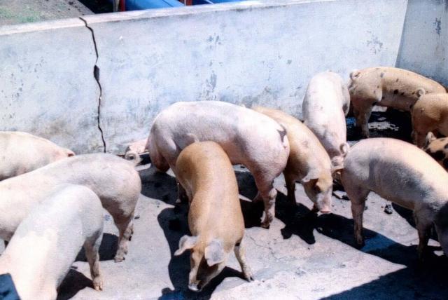 enfermedades transmitidas por consumir carne de cerdo