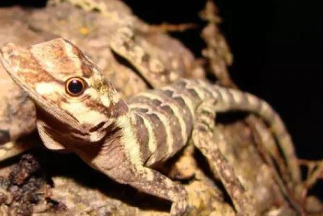 Descubren el secreto de los lagartos para respirar bajo el agua - Medio  Ambiente - Vida - ELTIEMPO.COM